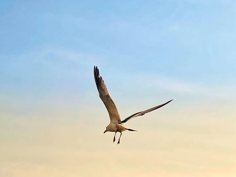 大连-飞翔的海鸥
